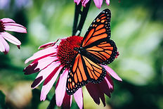 butterfly on coneflower.jpg