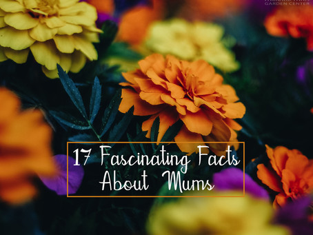 17 Fascinating Facts About Our Favorite Fall Flower, Mums