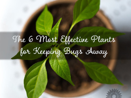 The 6 Most Effective Plants for Keeping Bugs Away