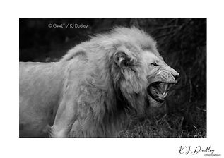 """ Wild by nature "" A3 black and white -limited edition Giclee print"
