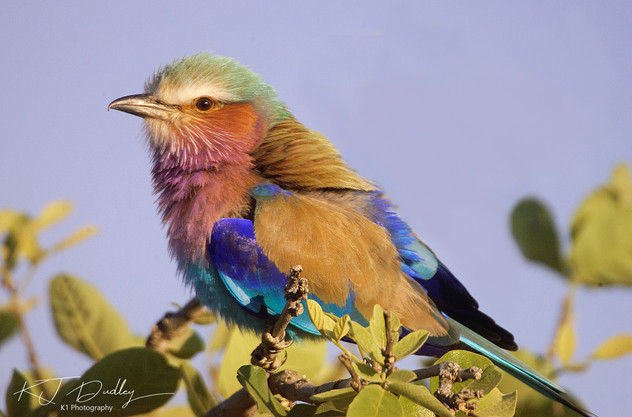 Lilac breasted roller 2.jpg