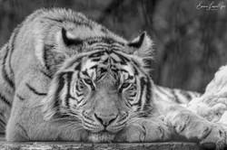 Mono Tiger-1