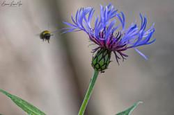 Knapweed & Bee