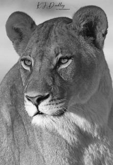 Lioness close up.jpg