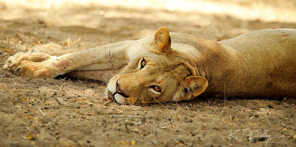 Kruger lioness.jpg