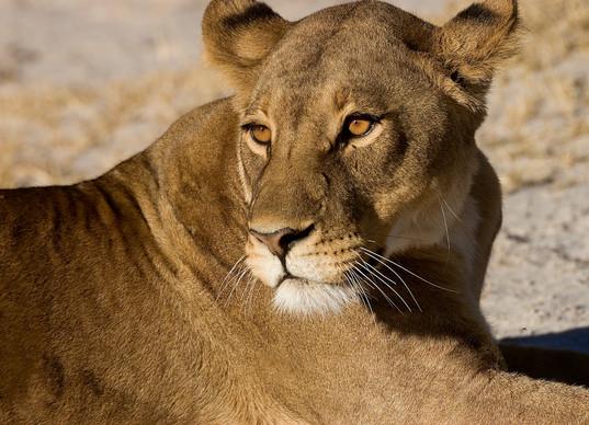 lioness at dawn on the Okavango Delta jpg