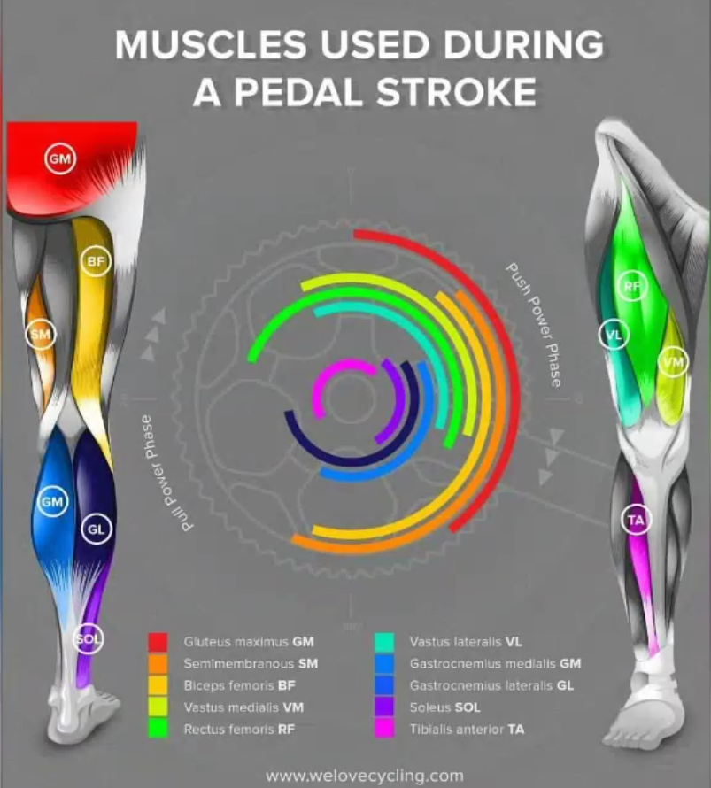 Muscles used during pedal stroke