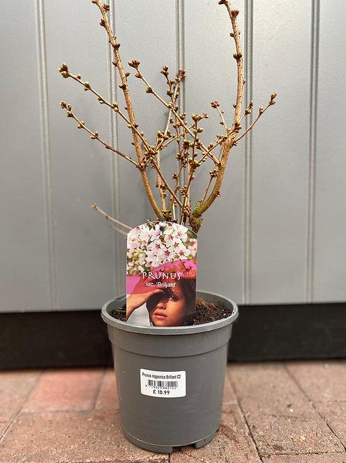 Prunus nopponica 'Brillant'
