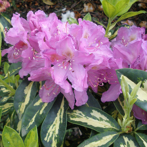 Rhododendron Molten Gold 7L