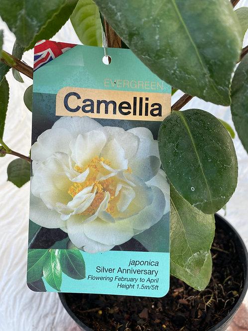 Camellia - Silver Anniversary