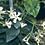Thumbnail: Trachelospermum jasminoides
