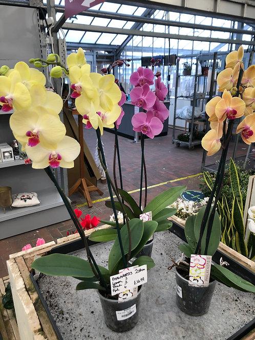 Phalaenopsis 2 stem dusky pink