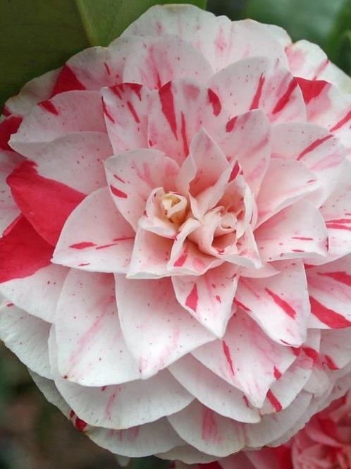 Camellia - Lavinia Maggi