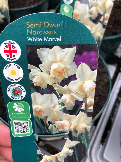 Semi Dwarf Narcissus White Marvel