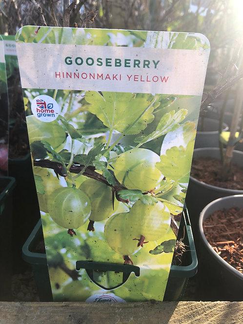 Gooseberry - Hinnonmaki Yellow