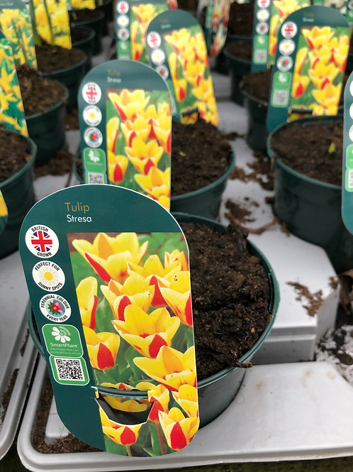 Tulip Stresa Large Pot