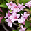 Thumbnail: Weigela 'Pink Poppet'