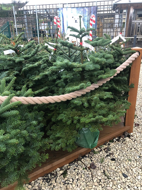 Noble Fir Potted Christmas Tree
