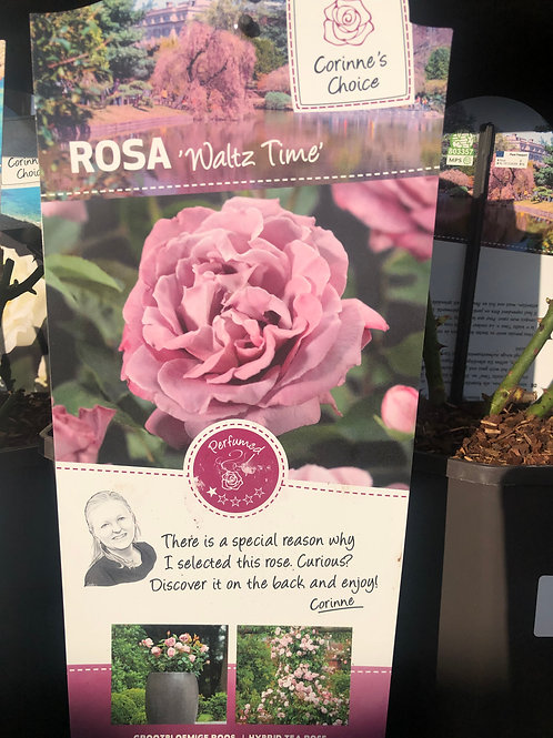Rosa 'Waltz Time' Floribunda Rose