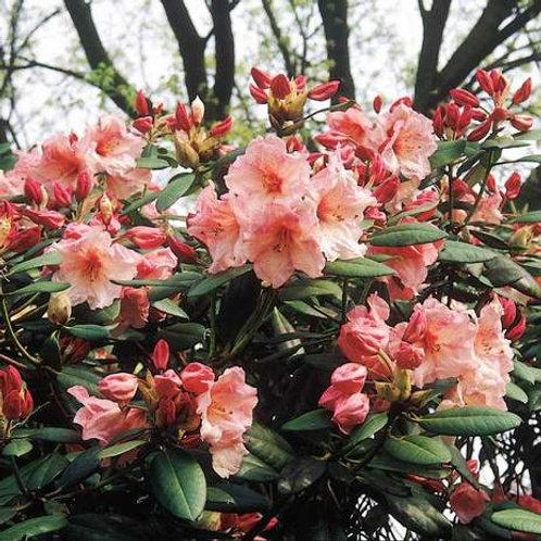 Rhododendron Virgina Richards