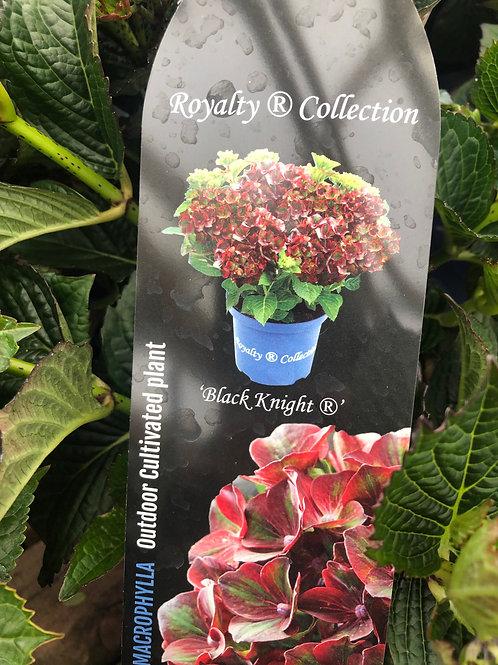 Hydrangea Macrophylla 'Black Knight'