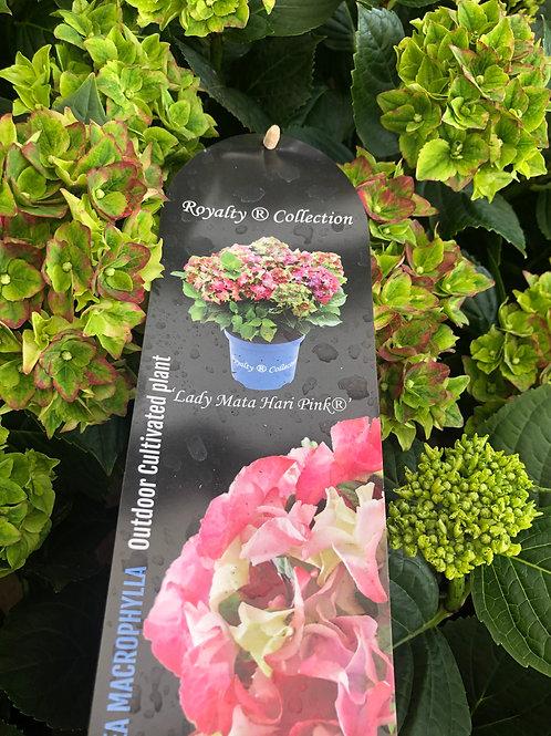 Hydrangea Macrophylla 'Lady Mata Hari Pink'