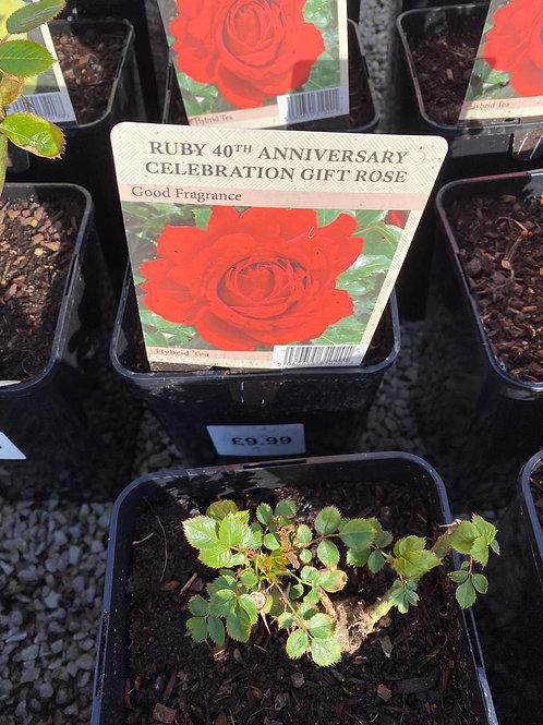 Ruby 40th Anniversary Celebration Gift Rose
