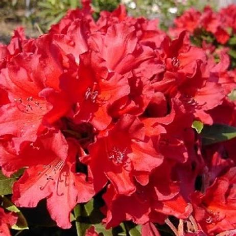 Rhododendron Manderley 5L