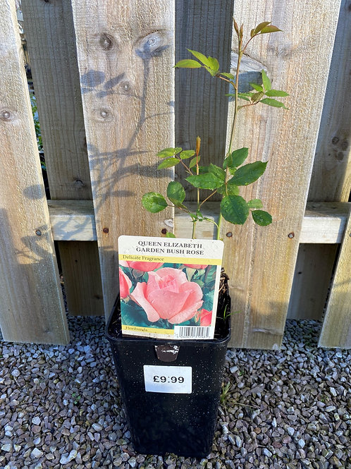 Bush Rose - Queen Elizabeth