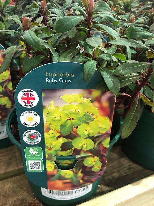 """Euphorbia """"Ruby Glow'"""