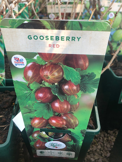 Gooseberry - Red