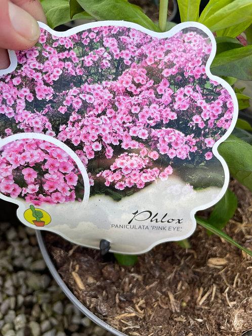 Phlox Paniculata 'Pink Eye Flame'