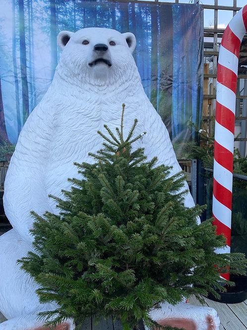 Real Christmas Tree - 5 to 6ft