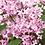 Thumbnail: Syringa Floweresta Pink