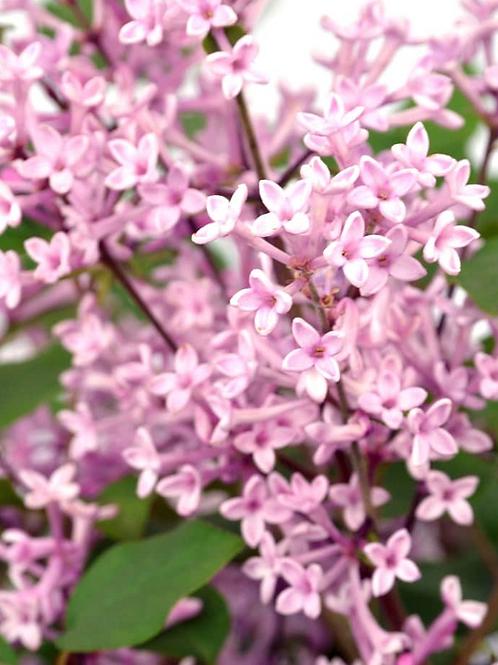 Syringa Floweresta Pink