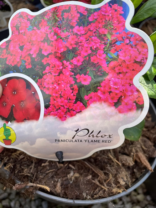 Phlox Paniculata 'Flame Red'