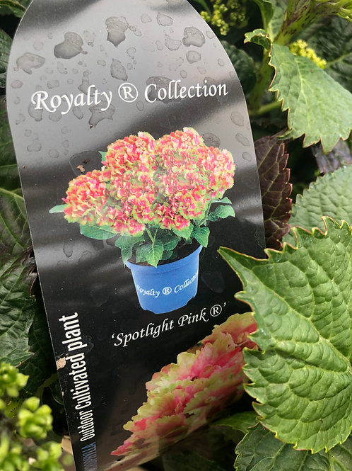 Hydrangea Macrophylla 'Spotlight Pink'