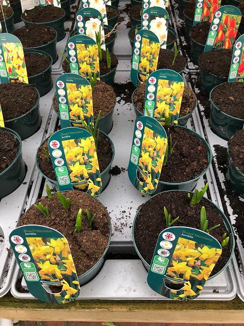 Dwarf Narcissus Jumblie Large Pot