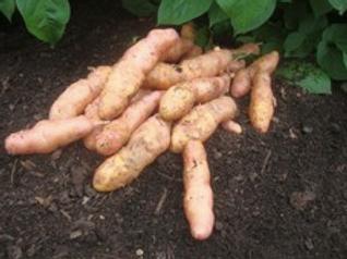 Pink Fir Apple Seed Potato 2.5kg