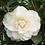 Thumbnail: Camellia - Swan Lake (3L)