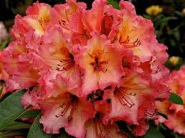 Rhododendron Firerim 7L