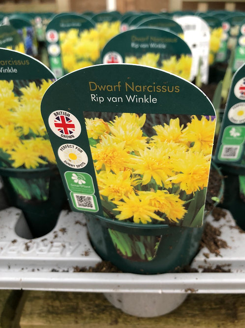 Dwarf Narcissus Rip von Winkle