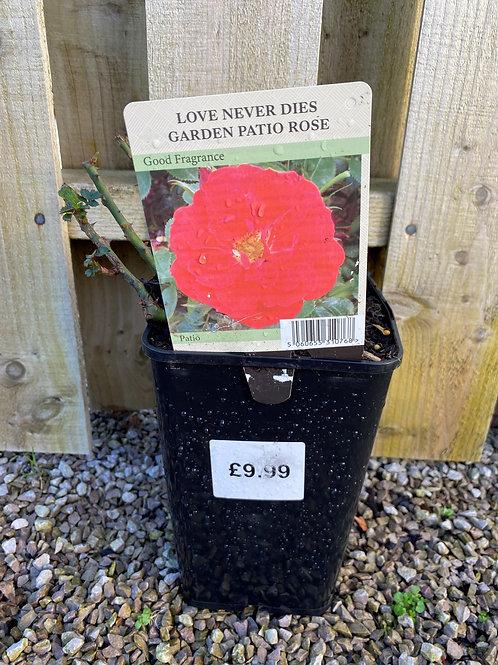 Patio Rose - Love Never Dies