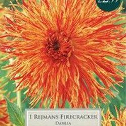 Rejmans Firecracker Dahlia