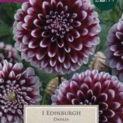 Edinburgh Dahlia