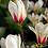 Thumbnail: Magnolia 'Sunrise'