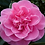 Thumbnail: Camellia - Debbie (3L)