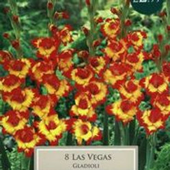 Las Vegas Gladioli