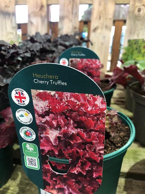 Heuchera 'Cherry Truffles'