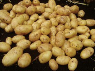 Nicola Seed Potato 2.5kg
